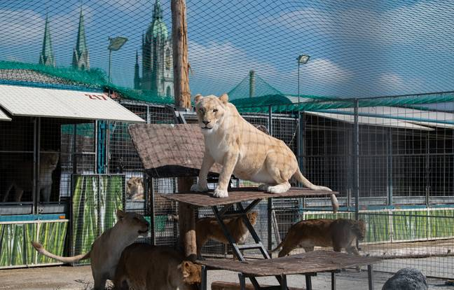 Lions from Circus Krone lie in the outside enclosure. Credit: PA