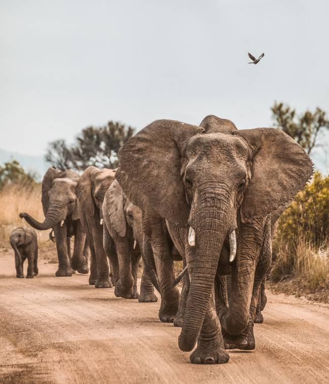 The elephant population has grown substantially (Credit: Unsplash)