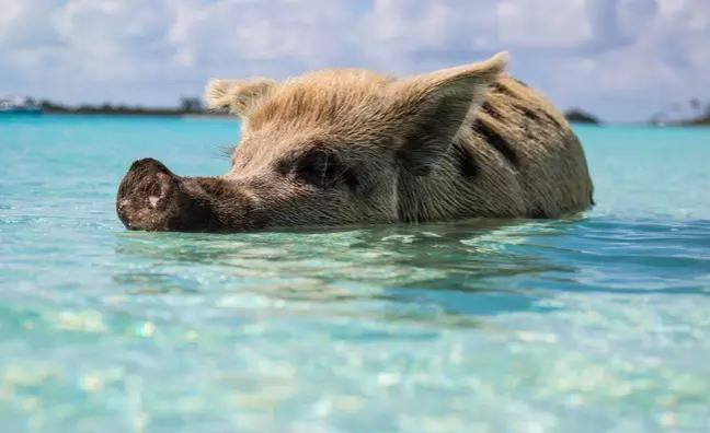 They were visiting an island known for their wild pigs. Credit: Unsplash