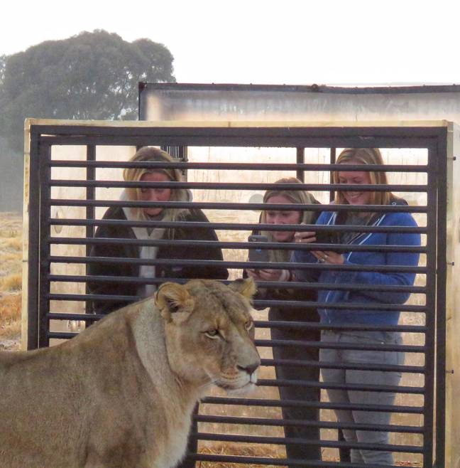 Thrill-seeking tourists can get up close and personal with the lions (credit: Caters)
