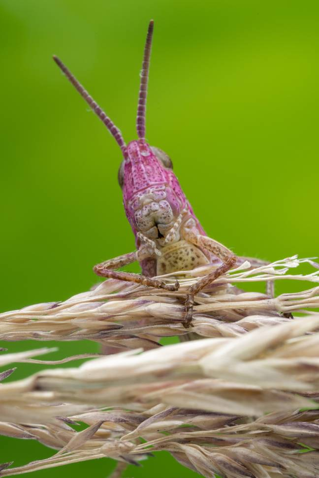 Young female meadow grasshoppers can be a pink or purple-red shade before they develop green coating (Credit SWNS)