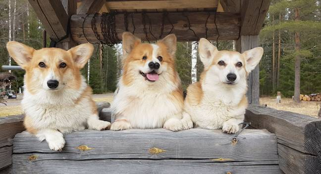 Nekku now lives with fellow corgis and