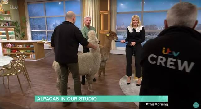Pete the alpaca spat right in Phil's face (Credit: This Morning)