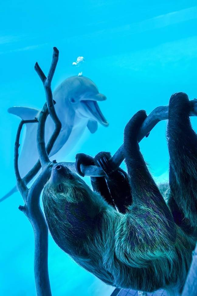 The dolphins were so excited at the sloth paying a visit (Credit: Texas State Aquarium)