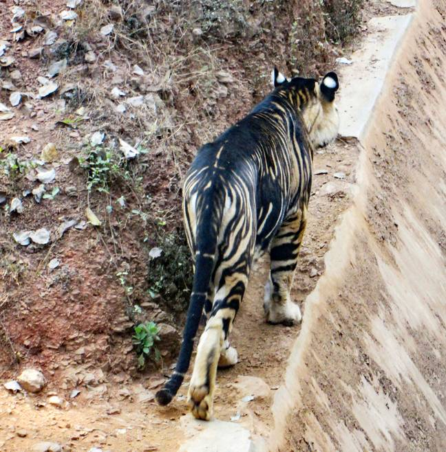 Only six black tigers are known to exist in the world (Credit: Soumen Bajpayee/Caters)