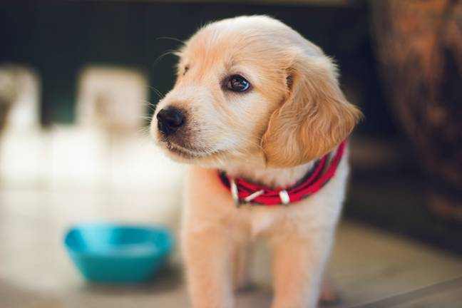 There has been a surge in puppy purchases since lockdown begun (Credit: Unsplash)