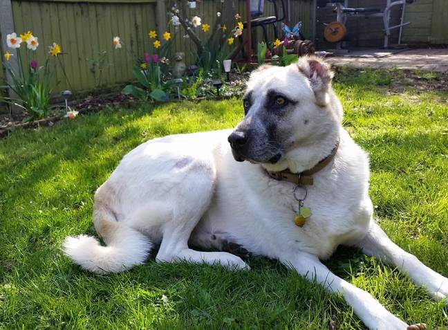 Blondie is a six-year-old rescue Kangal Shepherd (Credit: Kennedy News)