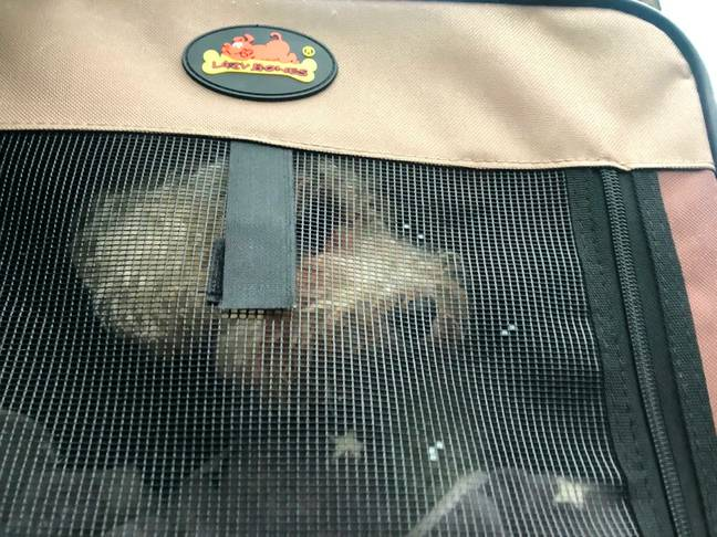 The little bichon was found in the woods alone, zipped into a carry case (Credit: SWNS)
