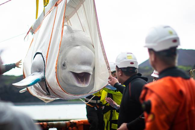 The whales were rescued from a life in captivity (Credit: PA)