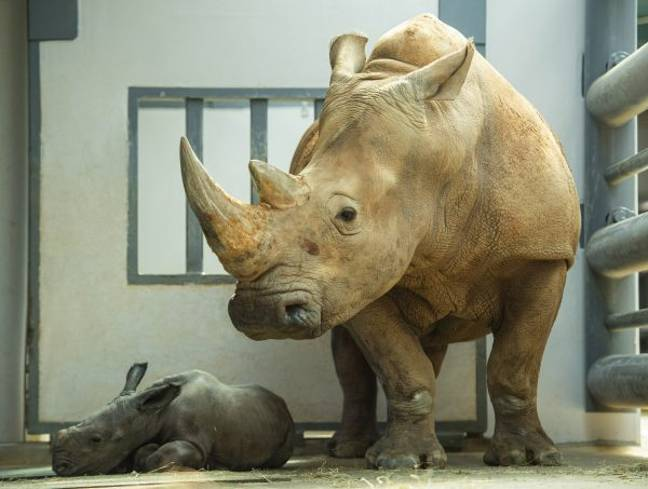 Kendi, a female white rhino who was born at the park over 20 years ago, gave birth to a male last month (Credit: Disney Parks)