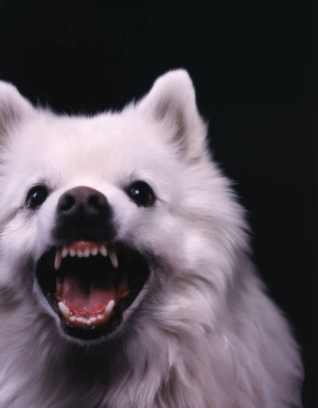 Smaller dogs tend to be more fearful, hence more aggressive (Credit: PA Images)