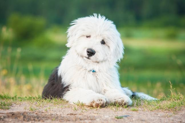 There were just 227 puppy registrations in the year of 2020 (Credit: Shutterstock)