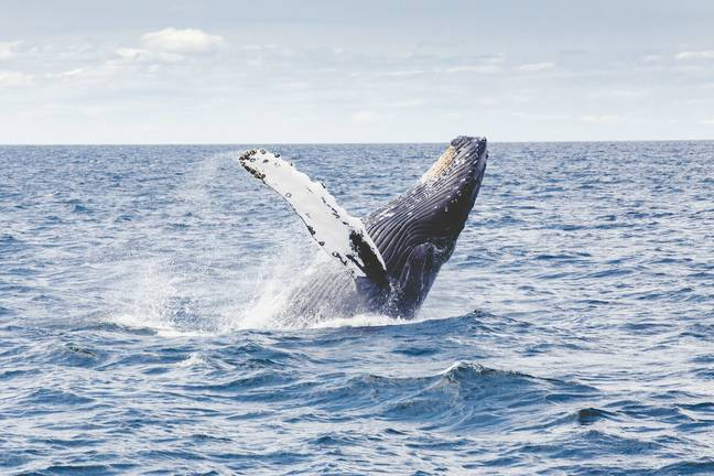 The North Atlantic right whale is listed as