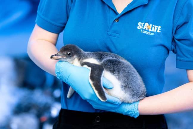 The little bundle of fluff (Credit: Sea Life London)