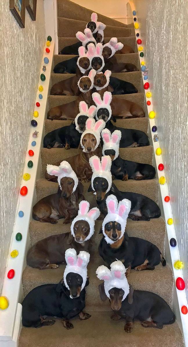 The sausage dogs amazingly all behaved for the snap (Credit: Caters)