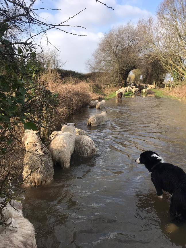 80 sheep were saved by five sheep dog (Credit: SWNS)