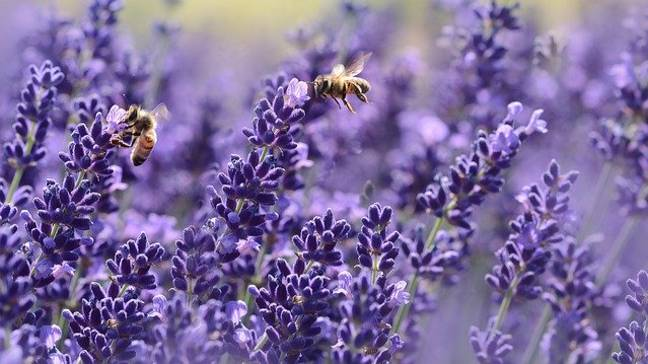 Lavender blooms from June to August (Credit: Pixabay)