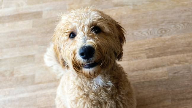 Labradoodles seem to be causing the most mischief (Credit: Unsplash)
