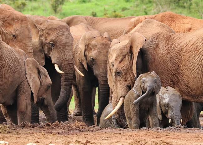 By the early 1990s, the total number of savannah and forest elephants in the entire country was estimated to be less than 360. (Credit: Pixabay)
