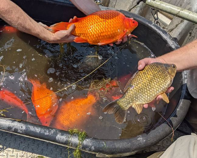 Experts have now issued a warning against releasing goldfish into the wild (Credit: @BurnsvilleMN/Twitter)