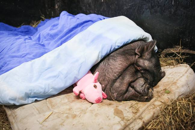 The pot-bellied pig was used to a living in luxury on its own mattress (Credit: SWNS)
