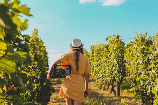 There's opportunity to learn about every phase of the wine making process (Credit: Unsplash)