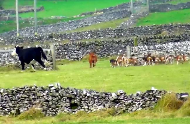 The calf's mother escaped the chase (Credit: SWNS)