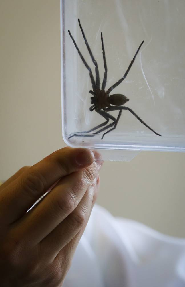 On average a huntsman spider's legs span around 15cm (Credit: PA)