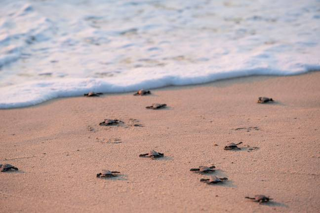 The turtles were able to hatch because of the Covid-19 pandemic (Credit: Shutterstock)