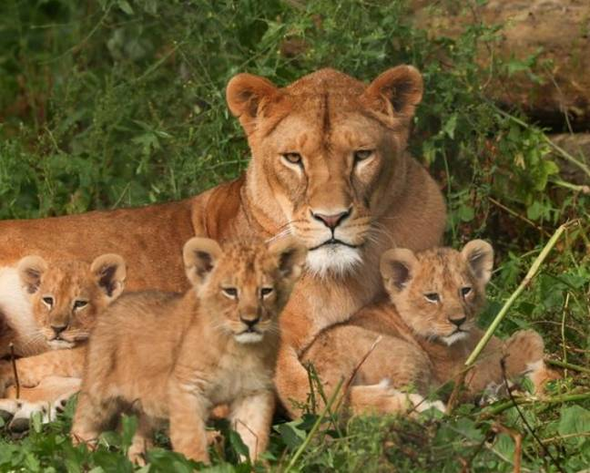 Three cubs were born in January (Credit: Port Lympne Hotel & Reserve)