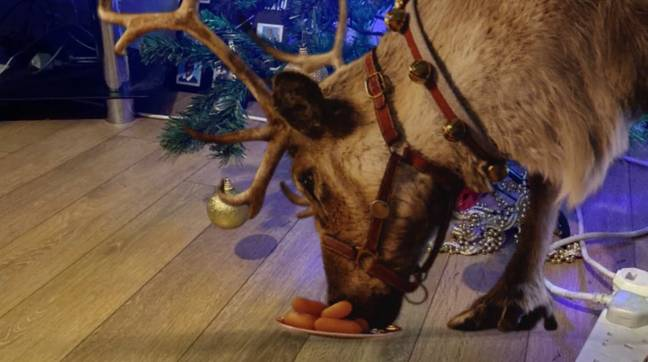 The app puts a reindeer eating carrots in your living room (Credit: Reindeer Ready/Tobi Akingbade)