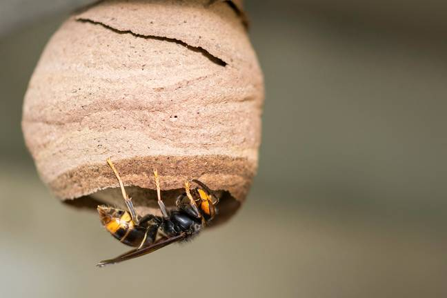 Jersey residents have been asked to report any sightings of the Asian Hornets (Credit: Shutterstock)