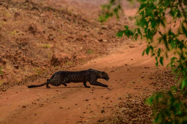 Anurag said he saw the same black leopard a year ago (Credit: Caters)