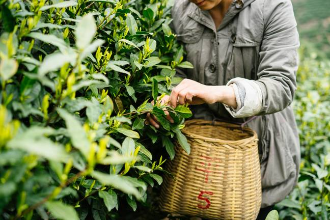 Tea farms' conditions could directly affect the taste of stock, too (Credit: Shutterstock)