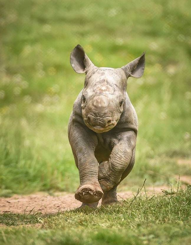 Rhino at Chester Zoo (Credit: Chester Zoo/Instagram)