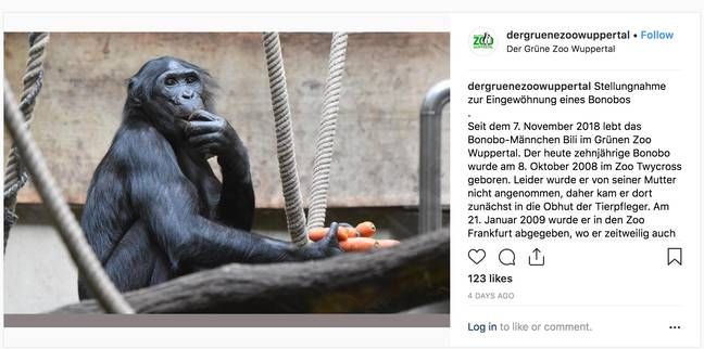Bili the Bonobo was sent to Wuppertal Zoo last autumn