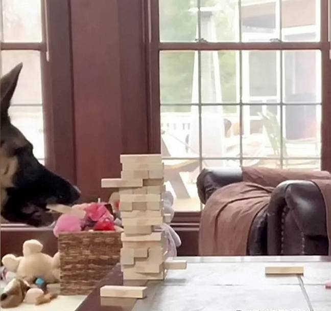 Clever Anya grips the Jenga blocks with her teeth (Credit: SWNS)