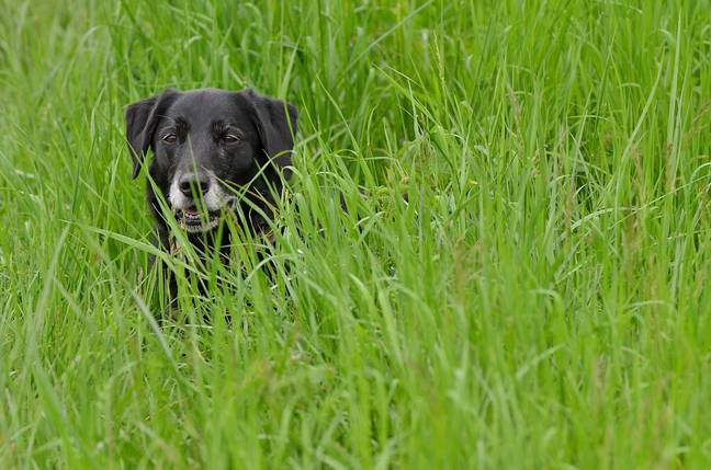 Vets are warning against the dangers of grass seeds on dogs (Credit: Shutterstock)