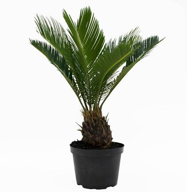 The Sago Palm is toxic to animals and humans when eaten (Credit: Walmart)