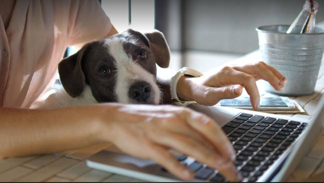 Dog owners are encouraged to prepare their pets for their return to the office now (Credit: Shutterstock)