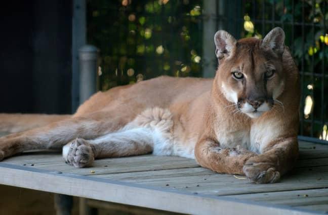 Eastern Puma's were victims of deforestation. (Credit: Pixabay)