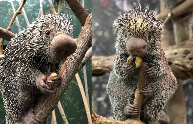 Here's Quilliam's mum and dad, Quillber (left) and Beatrix (right) (Credit: Smithsonian National Zoo)