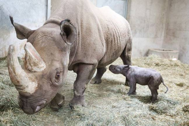 The baby black rhino was born on Christmas Eve (Credit: Potter Park Zoo)