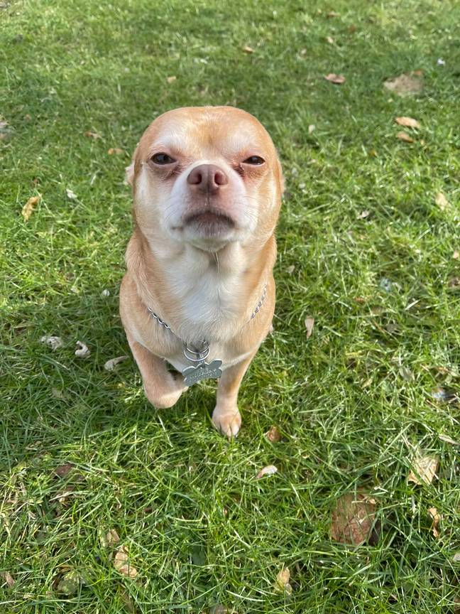 Prancer the chihuahua has gone viral on Facebook