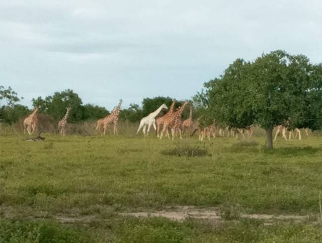 The GPS tracking device will 'ping' the giraffes whereabouts to wildlife workers (Credit: Facebook/Ishaqbini-Hirola Community Conservancy)