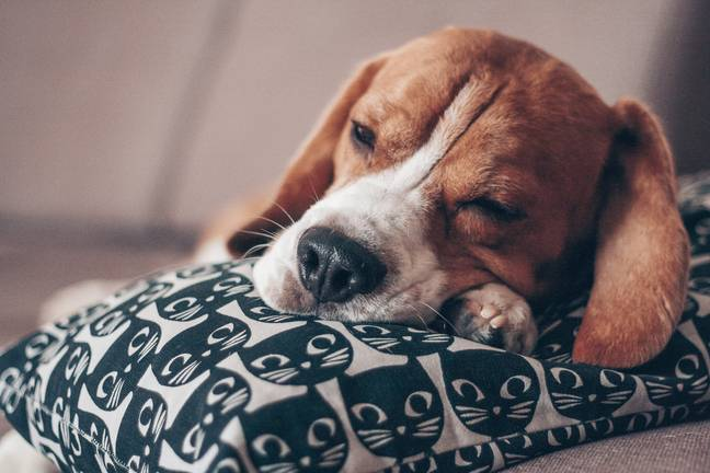 When it comes to greediness, Beagles will steal food from your plates (Pexels)