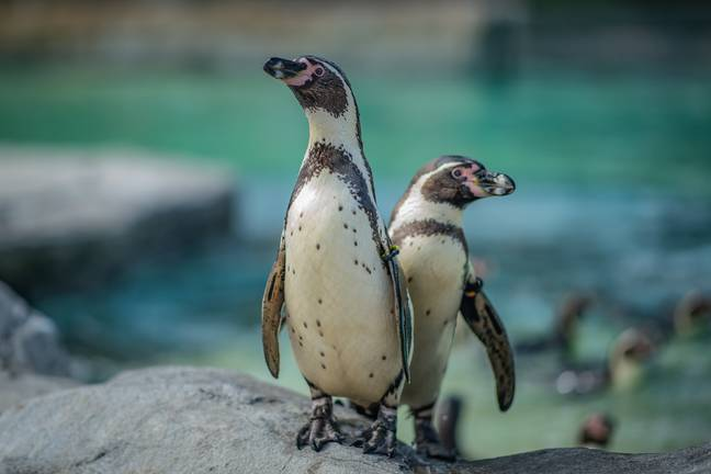 The new arrivals will more than triple in size in the first three weeks of life (Credit: Chester Zoo)