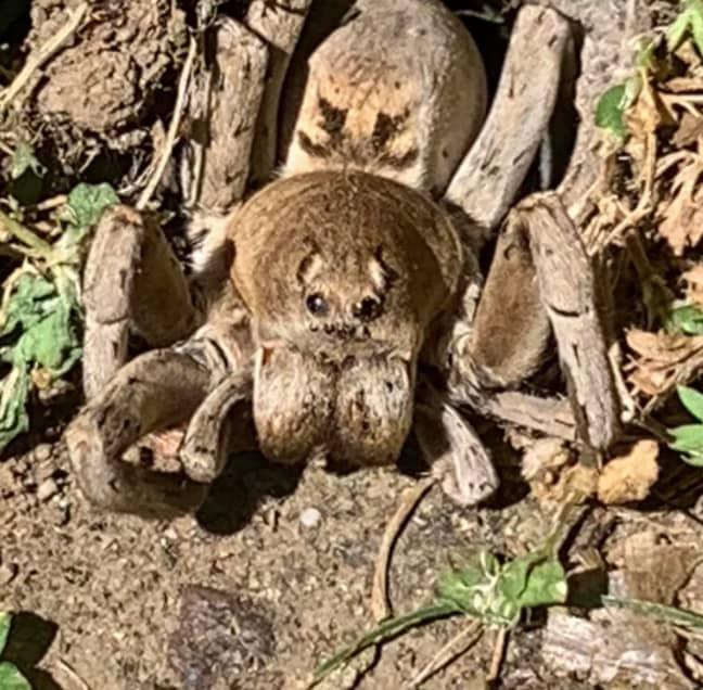 The spider was in the Reddit user's back yard (Credit: Reddit/ u/noobshifu69)