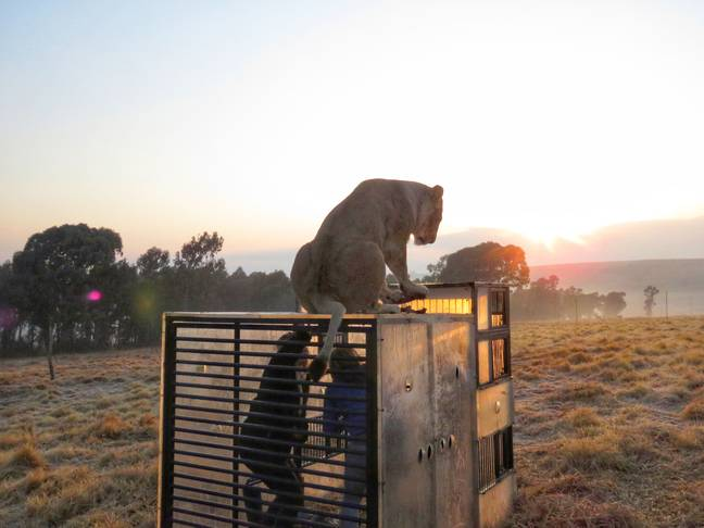 The wildlife enjoys climbing on top of the plexiglass cube (credit: Caters)