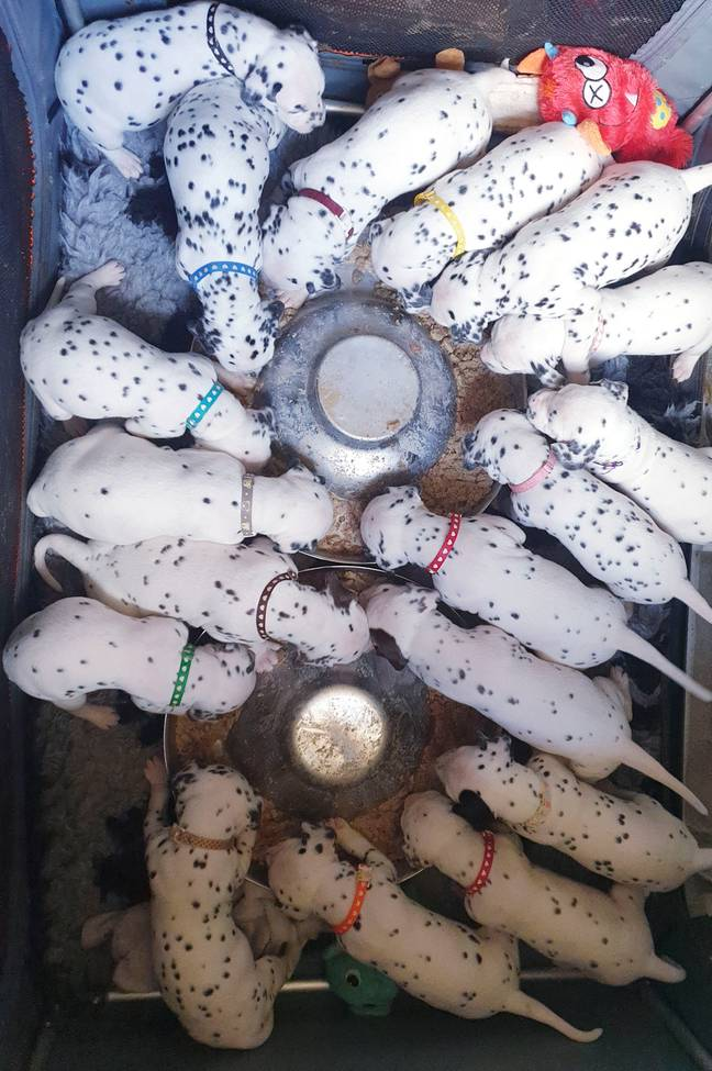 The brood of 18 is one short of the world record for Dalmatian litters (Credit: Caters)